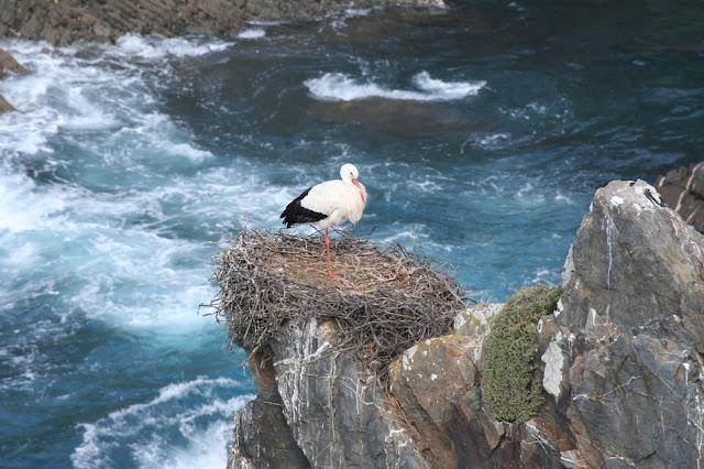 Cigüeñas anidando en acantilados Alentejo