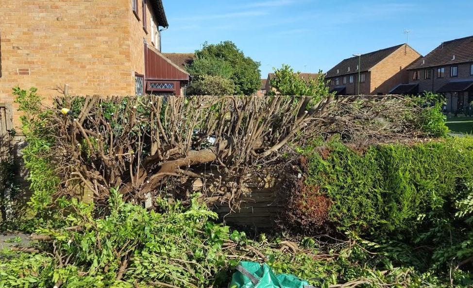 how and when do you cut an arbutus hedge the garden of eaden. Black Bedroom Furniture Sets. Home Design Ideas