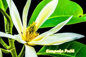 Bunga Kantil atau Cempaka putih