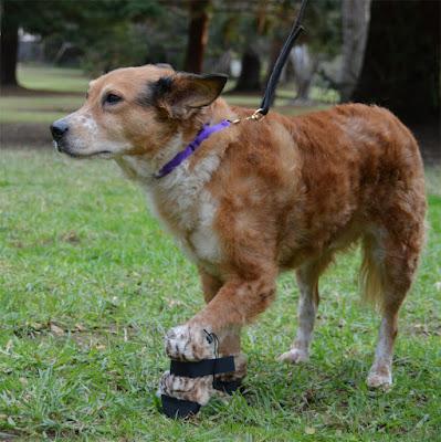 unhappy dog wearing fleece leopard booties