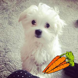 beneficios de la zanahoria en el bichon maltes