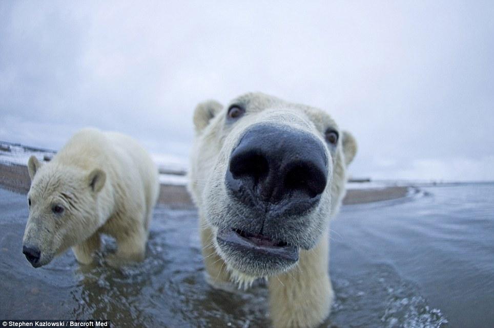 The Animal Zone: Polar Stare: Arctic Bears Get Up Close