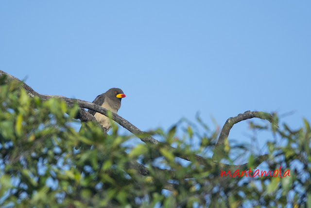Yellow-billed oxpecker (Buphagus africanus)
