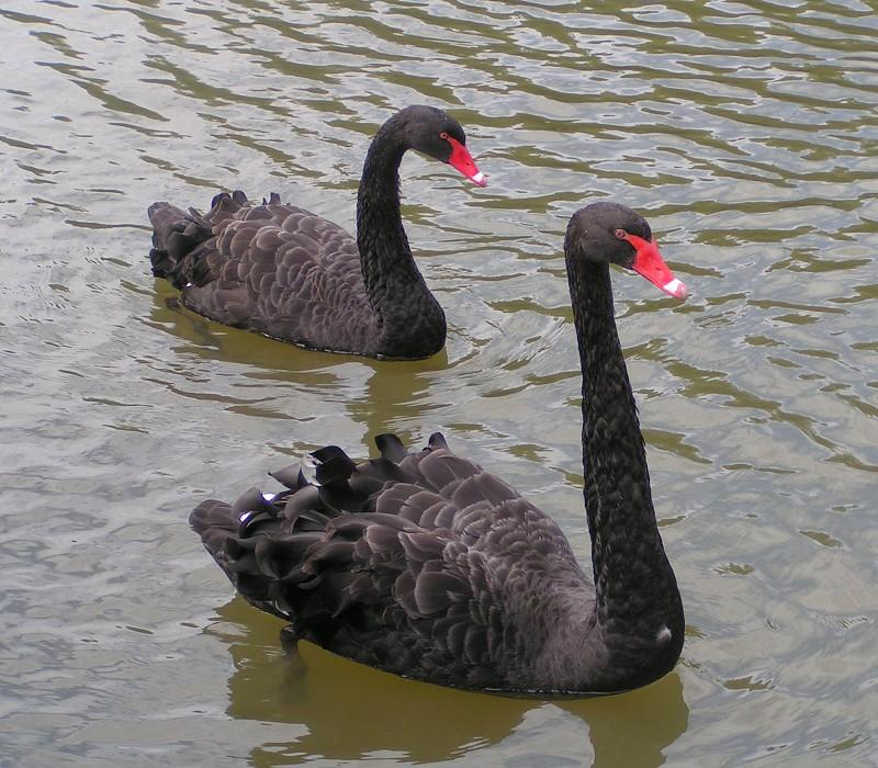 black swan animal - photo #7