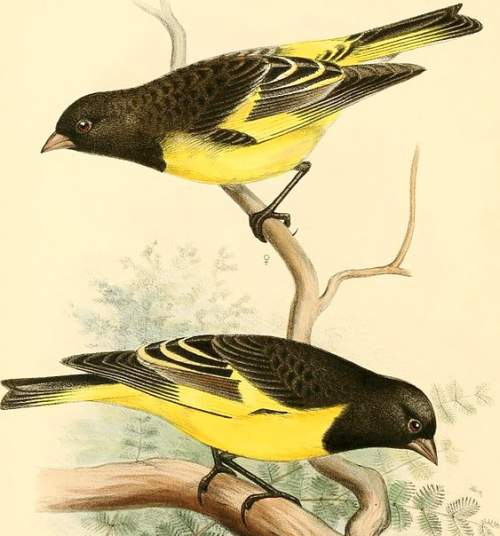 Yellow-rumped siskin - Spinus uropygialis