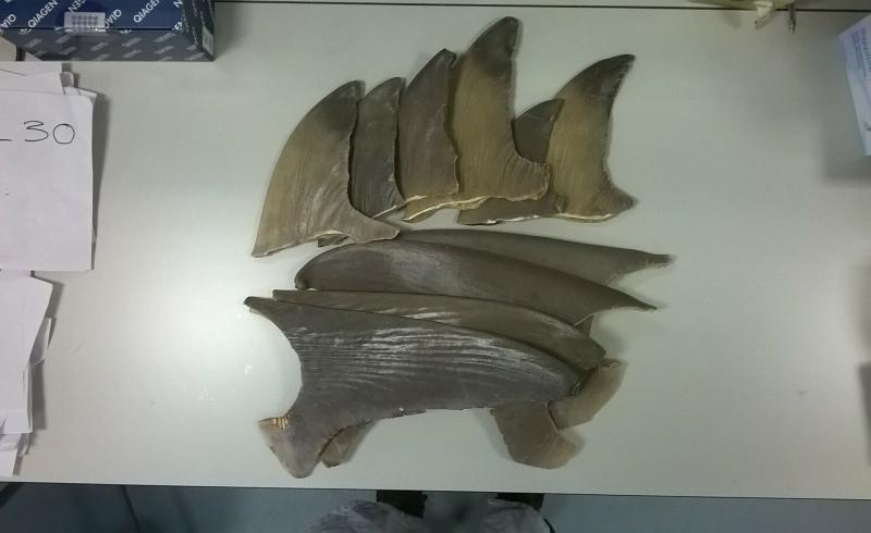 Barbatanas de tubarão
