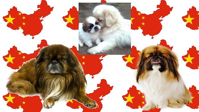 pekines raza asiática de perros