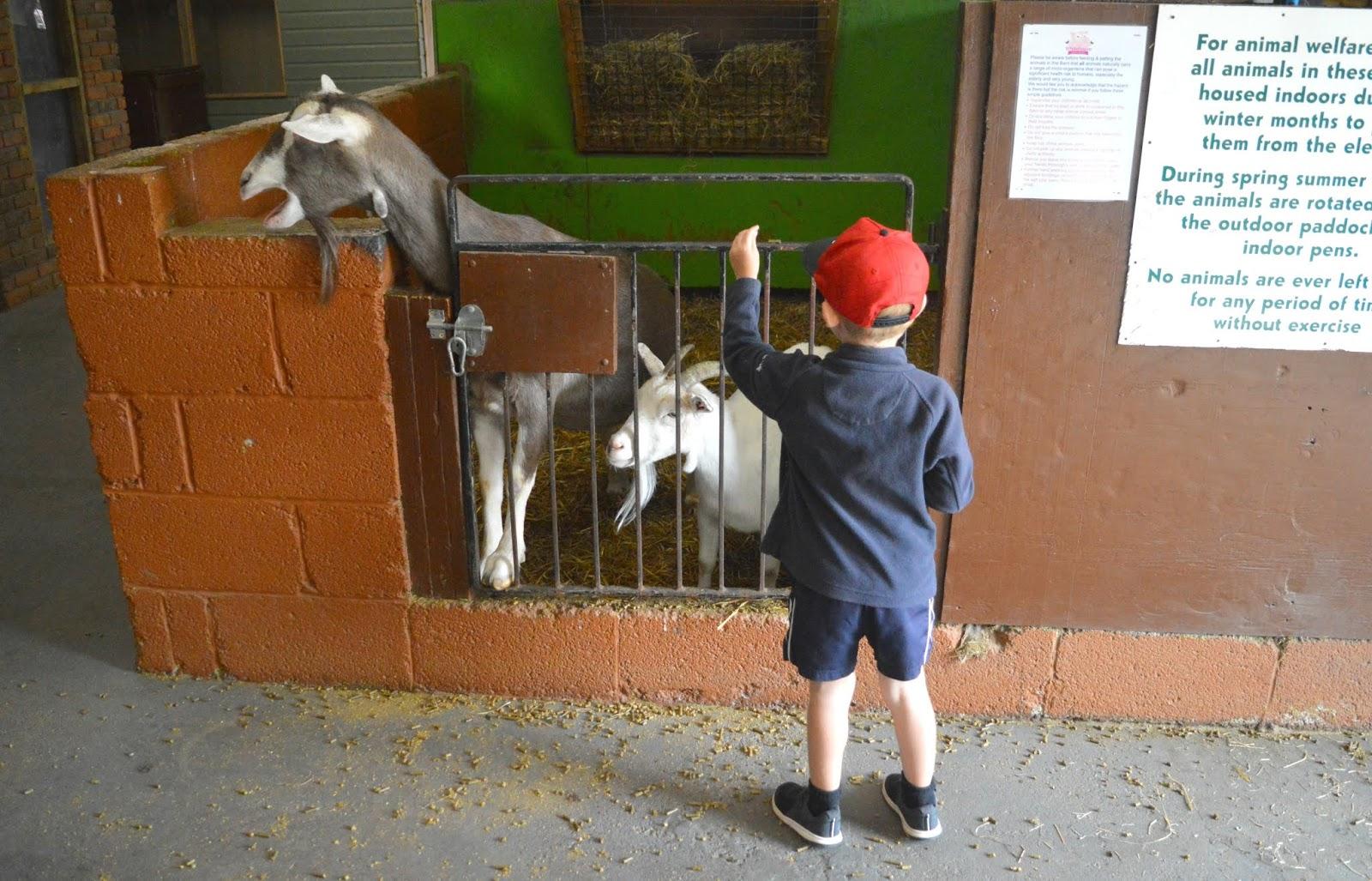 Whitehouse Farm, Northumberland - Goats