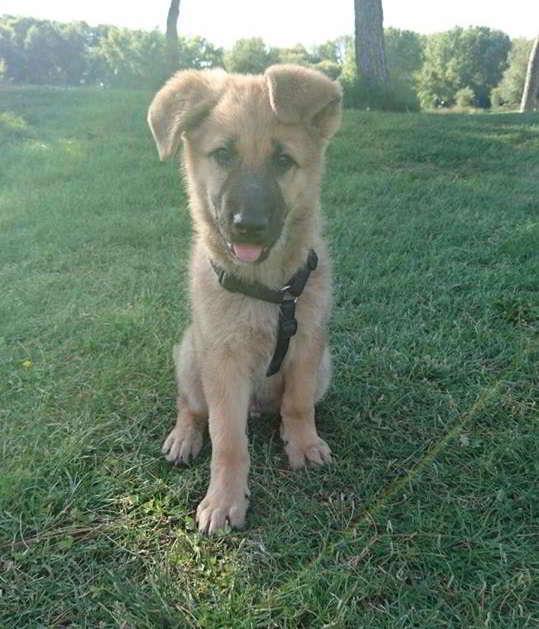 cachorro cruce pastor alemán con mastín