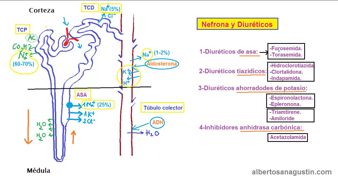nefrona y diuréticos