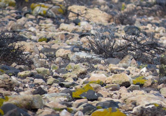 Lesser Short-toed Larks - Reserva de El Jarde, Fuerteventura