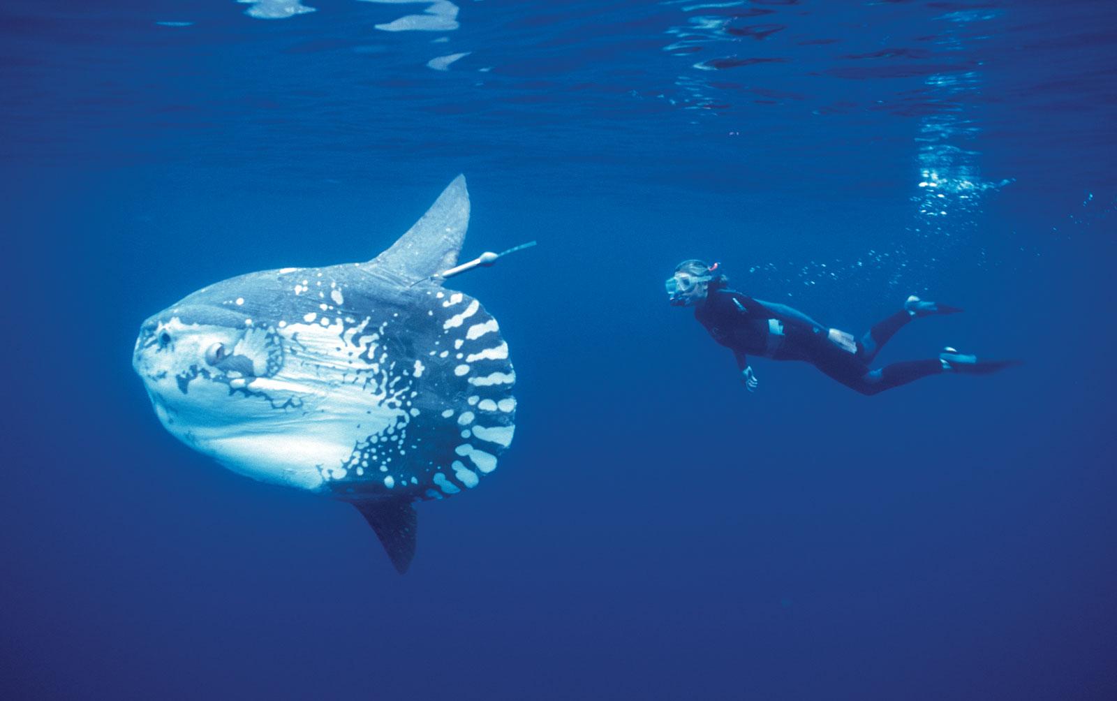 The Ocean Sunfish Snsh
