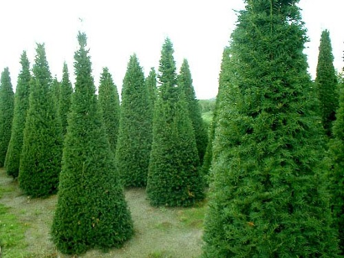 Ταξός - Ιταμος - Ιδανική λύση για Χριστουγιεννιάτικο δέντρο