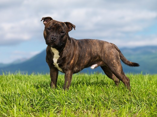 dog-breed-Staffordshire-Bull-Terrier