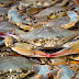 Soft Shell Crab Suppliers