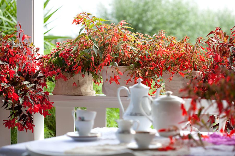 aprende todos los tipos de begonia que existen, y los cuidados que cada una necesita, desde como plantar hasta su poda