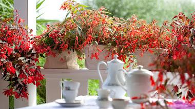 Cultivares de begonias para jardín y macetas: Begonias tuberosas (Begonia × tuberhybrida)