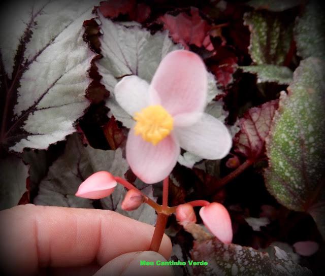 Flower BEGONIA REX PUTZ