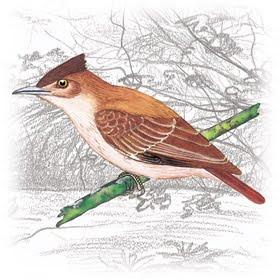 Pássaro Casaca-de-Couro (Pseudoseisura cristata)