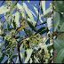 Eucalyptus And Its Healing Powers