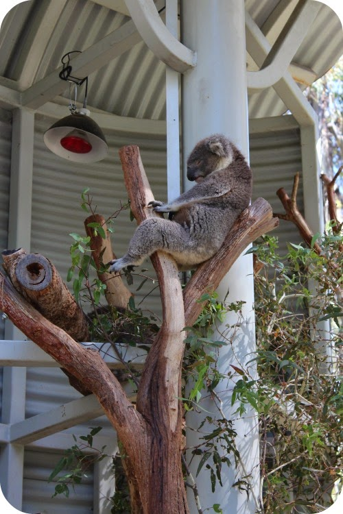 a Sleeping Koala one log between his legs and his paws holding it as he reclines supported by a second branch along his spine