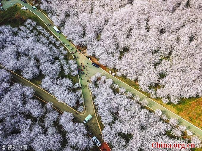 Hòn đảo hoa anh đào 'đẹp rụng rời' ở Trung Quốc - Ảnh 10
