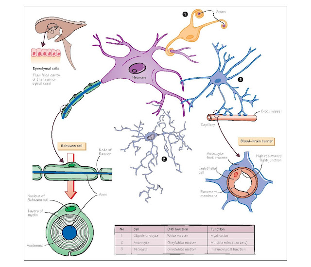 Cells Of The Nervous System II: Neuroglial Cells, Astrocytes, Microglial cells, Ependymal cells, Oligodendrocytes, Schwann cells