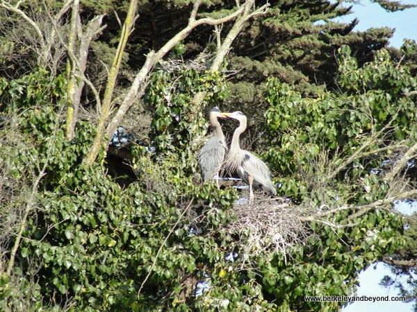 great blue herons nesting in tree at Palace of Fine Arts in San Francisco