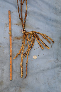 Morning Star skirret from the bog garden