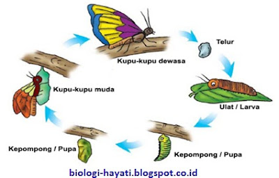 Metamorfosis Kupu - kupu