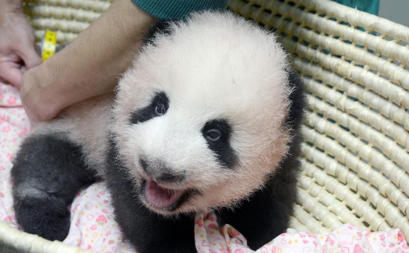 バスケットの中で起き上がる生後三ヵ月ほどの赤ちゃんパンダ