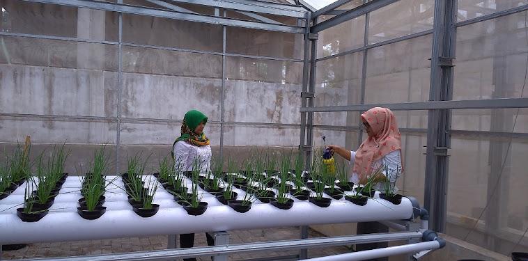 Cara Menanam Bawang Merah Dengan Metode Hidroponik
