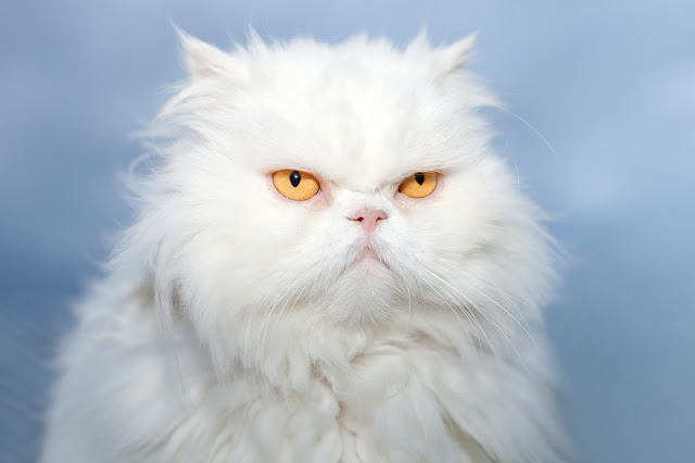 White Persian cat with grumpy expression. Photo via Adobe Stock.