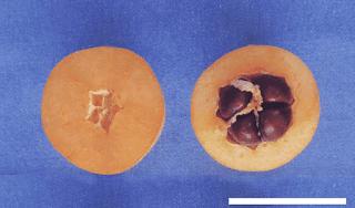 fotografia de frutos de nispero sin semilla y con semilla