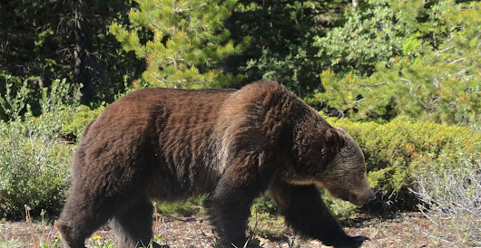 Grizzly Highway Encounter