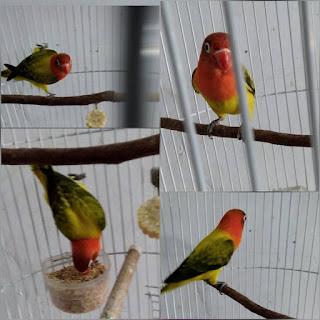 cara mencetak lovebird biola euwing