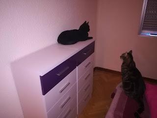 Gatos estrenando un sifonier