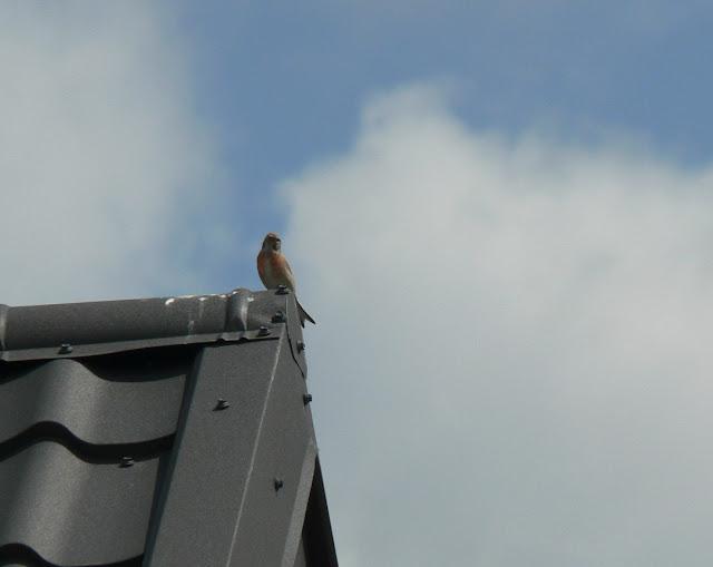 Makolągwa siedząca na dachu