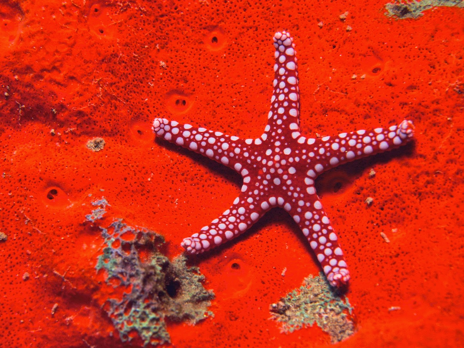 Star Fish Under Sea Wallpapers