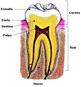 Dibujo de las partes del Diente del cuerpo humano a colores