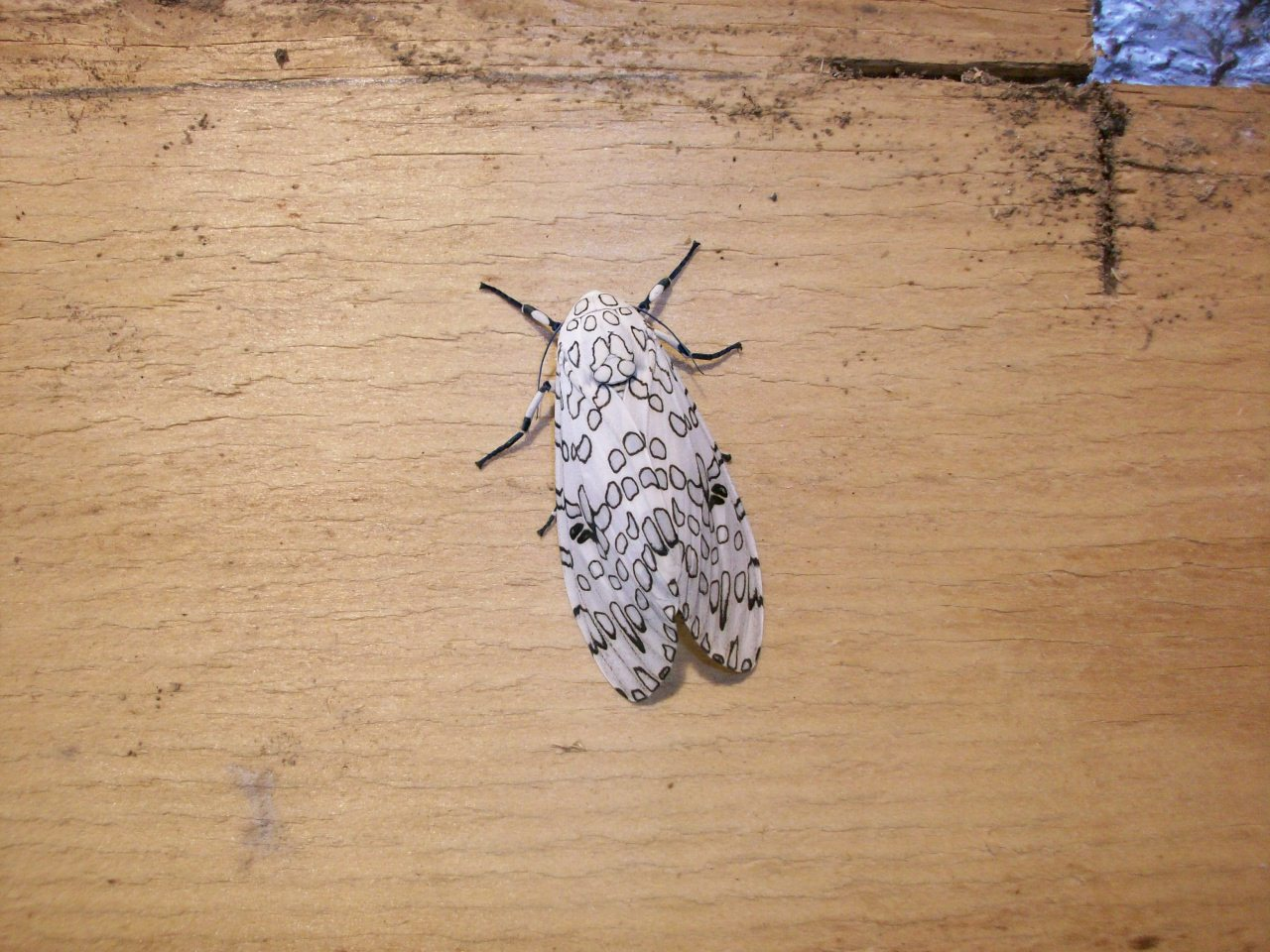 Giant leopard moth by /u/Toblerone44 on Reddit