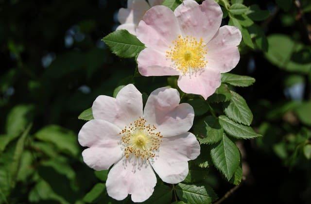 Mawar wild rose memiliki 2 jenis spesies yang mudah ditemukan dan sangat indah