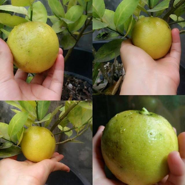 6 Manfaat Alpukat Untuk Menghilangkan Jerawat Dan Bekas: 7 Tips Cara Menghilangkan Jerawat Dengan Jeruk Lemon