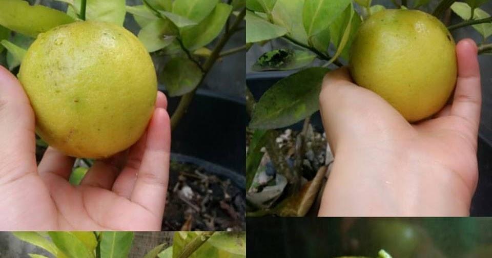 7 Tips Cara Menghilangkan Jerawat Dengan Jeruk Lemon