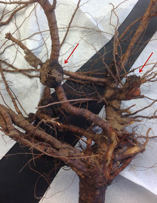 Quarter sized galls on the roots of a peach tree