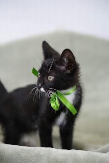 black kitten with white markings looking to the left
