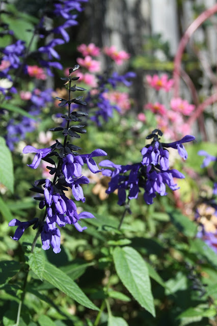 black and blue salvia, garden, autumn, Anne Butera, My Giant Strawberry