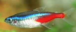 Jenis Ikan Hias Air Tawar  Aquarium Neon Tetra