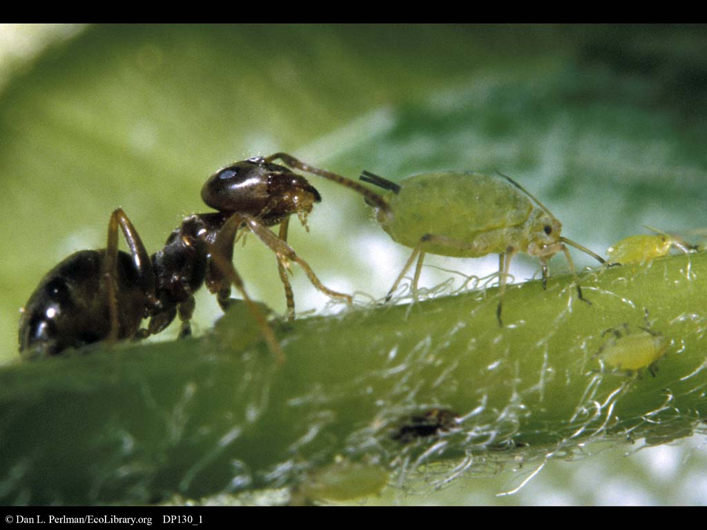 ants and aphids relationship