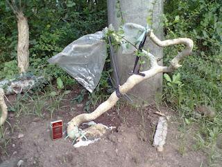 cara agar bakalan bonsai tidak mati